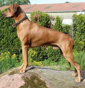 Rhodesian Ridgeback Rüde Good Hope at Kuraman of the red Lion Hunter